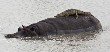 Crocidile-on-Hippo